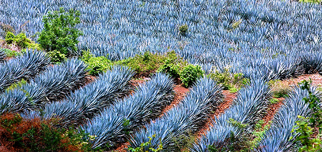 Come and get to know: The tequila route in Jalisco